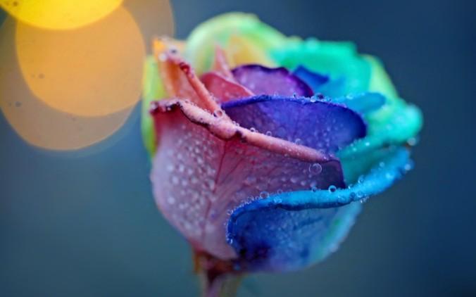 dew in petals